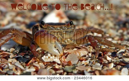 Welcome to the beach crab