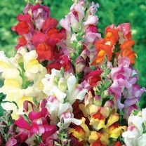 January flowers to sow. Links to Suttons seeds to buy