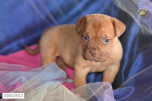 Marla - Bullmastiff Puppy for Sale in Millersburg, OH - Bullmastiff - Puppy for Sale