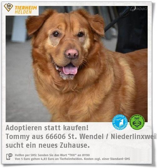 Tommy kam als Fundhund ins Tierheim Linxbachhof und hatte an den einwachsenden Augenliderhaaren starke Schmerzen.   Bei Tommy ist davon auszugehen, dass er ausgesetzt wurde. Er war in keinem guten Zustand. Auf Fremde ist tommy daher nicht sonderlich gut zu sprechen. Wenn er erstmal Vertrauen gefasst hat, ist er sehr zutraulich. Ob er verträglich ist, kann man aktuell nicht sagen.