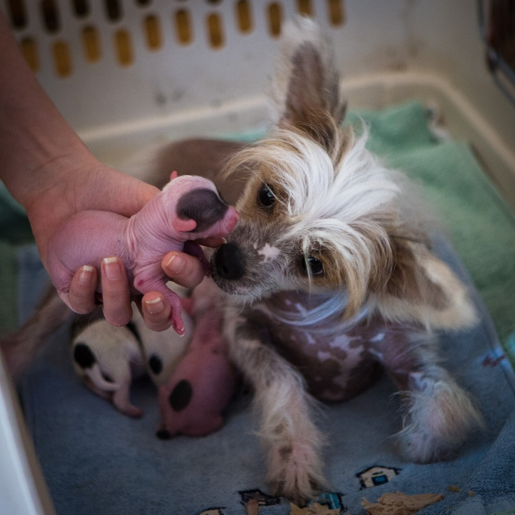 My Chinese Crested af few hours after she got her puppies