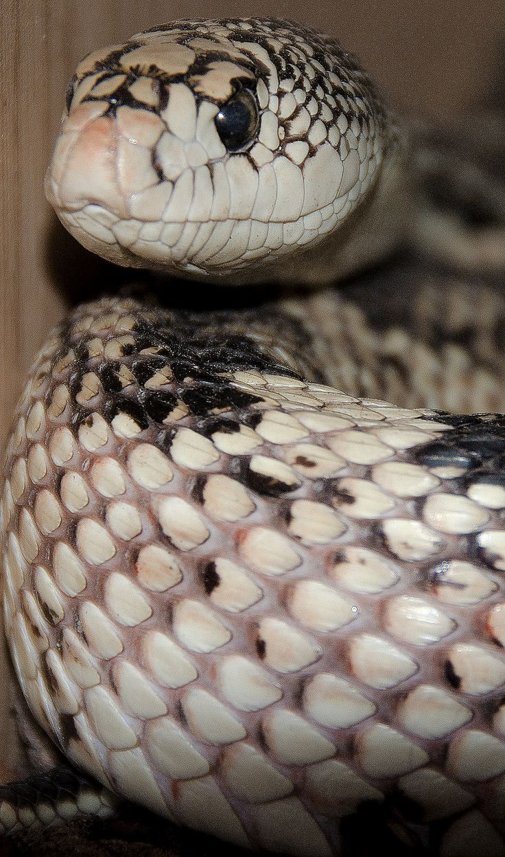 14 best large grey snakes images on pinterest reptiles