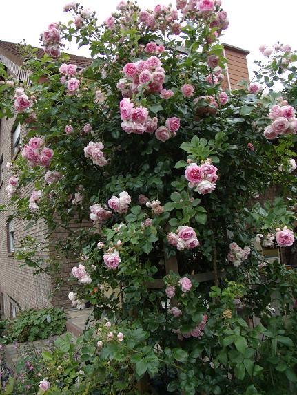 22 best images about climbing rose on pinterest gardens. Black Bedroom Furniture Sets. Home Design Ideas