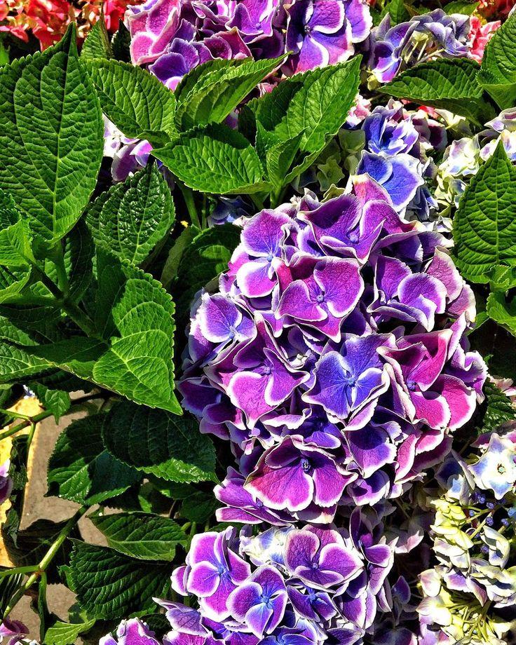 14 Beautiful Hydrangea Varieties  Hydrangea Varieties -3582