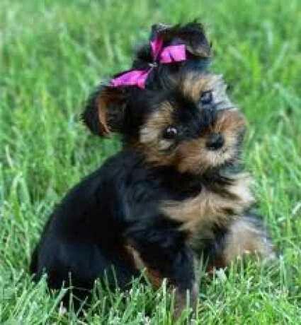 Yorksie Terrier
