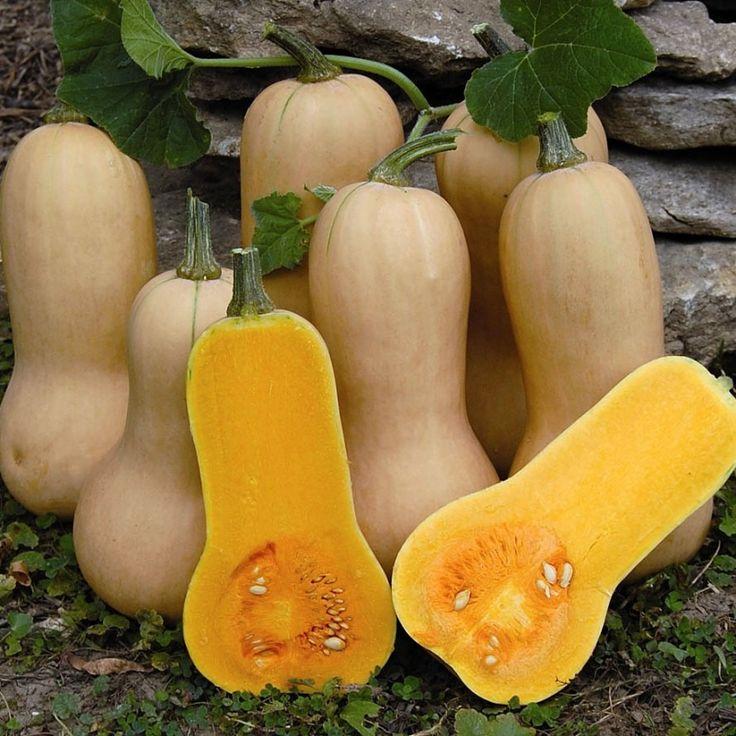 MYSKPUMPA 'Waltham Butternut' i gruppen Grönsaksväxter / Fruktgrönsaker / Pumpa/Vintersquash hos Impecta Fröhandel (9366)