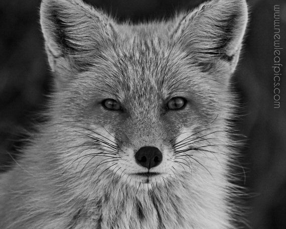 Black and White Animal Photography Red Fox Portrait by NewLeafPics, $25.00