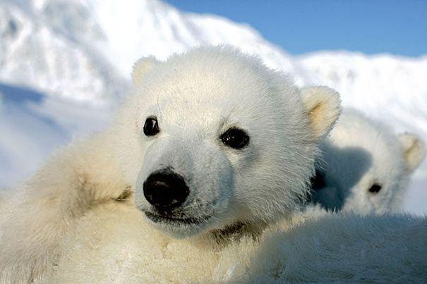 Klimaændringer truer ikoniske dyr