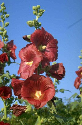 Hollyhock (Alcea rosea) | Height: 1.8m | Spread: 0.6m