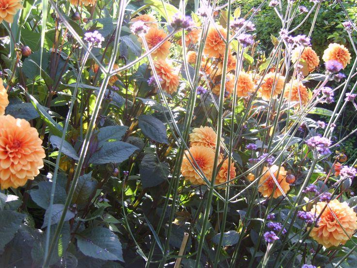A lovely late summer plant combination for your garden: Dahlia 'David Horward' and Verbena bonariensis at @Great Dixter  - Photo by Noemi Mercurelli of Mercurelli's Garden Design