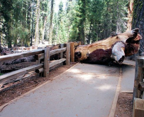 General Sherman, the biggest tree in the world!