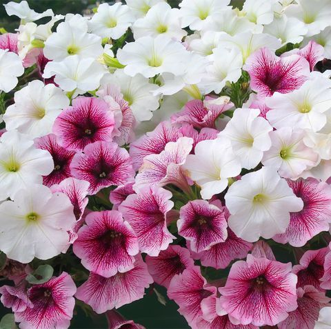 30 Best Flowers That Bloom In Summer For Your Home Garden Flowers Summer Flowers Petunia Plant