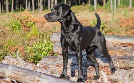 *** Black Labrador Retriever *** - labrador, czarny, psy, zwierzeta