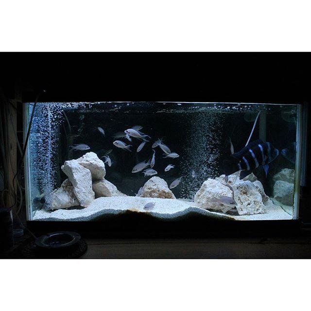 【ken77e】さんのInstagramをピンしています。 《レイアウトを5年ぶりに変更 今回はより現地らしく石灰岩 #アフリカンシクリッド#熱帯魚#アクアリウム#シクリッド#タンガニーカ湖#マラウィ#フロントーサ#aquarium#aqua#africancichlid#fish#Blue#African》
