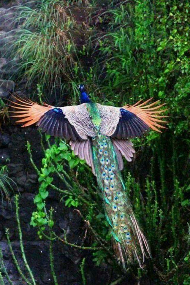 Peacock in flight.