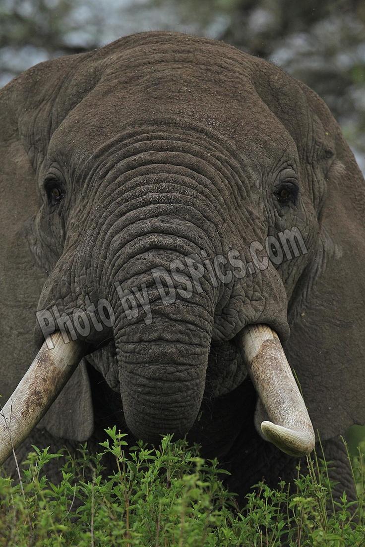 Elephant,TanzaniaElephant Tanzania, Dspic Photos, Elephant'S Tanzania