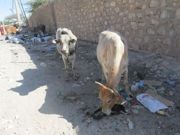 Cattle In Garbage