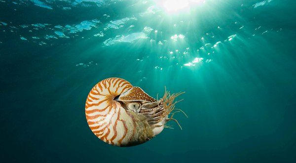 """Often called """"A Living Fossil,"""" the chambered nautilus is beautiful. Love of the Nautilus shells for jewelry threatens the species. This image was taken in Palau in the SW Pacific."""