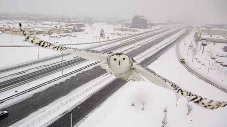 Traffic Camera Captures the Unexpected Sight of a Snowy Owl Soaring Over a Montreal Highway