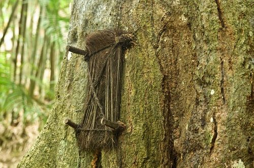 Baby Grave Tree in Tana Toraja, Indonesia. If a child dies before he/she has started teething, its mother wraps the tiny body in cloth, makes a hole or finds a natural niche in the 'Baby Tree' and places the dead infant inside. The hole is then sealed and as the tree begins to heal, the child is believed to be absorbed.