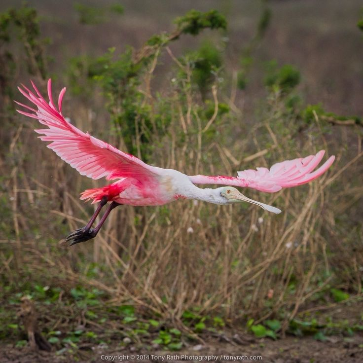 Crooked Tree Wildlife Sanctuary, to me, is always an awakening - flashes of pink and splashes of blue within a vast e...