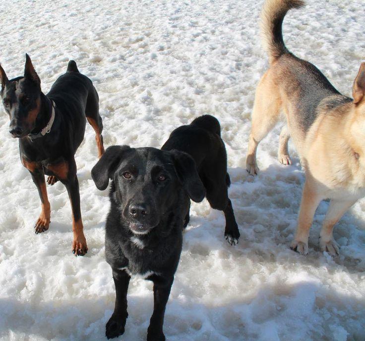 We love camp friendships! #dogboarding #dogboardingtoronto #dogboardinggta #dogboardingdurhamregion #dogboardingdurham #dogdaycare #doggydaycare #dogcamp #dogsatcamp #dogsatcampuxbridge #dogs #dogoftheday #dog #dogdaycaretoronto #dogdaycaredurham #uxbridge #portperry #dogs #puppy #gsd #germanshepherd #lab #doberman #dobermanpinscher