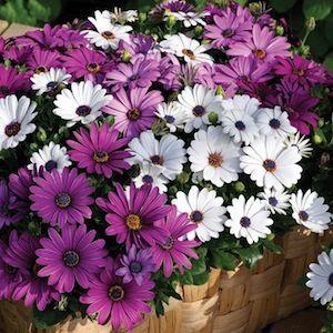 Osteospermum, Asti Mix African Daisy - Garden Seeds - Annual Flower Seeds