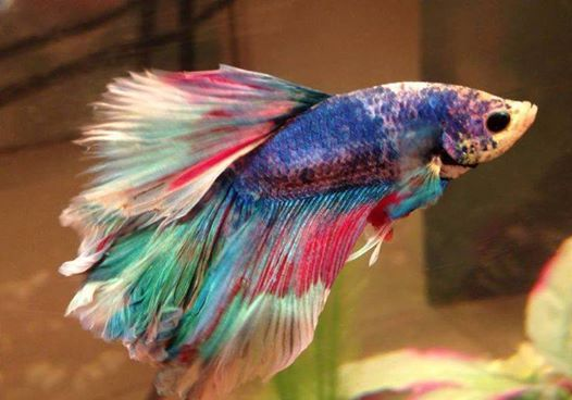 Rainbow Betta! Im planning on Getting One :3                                                                                                                                                     More