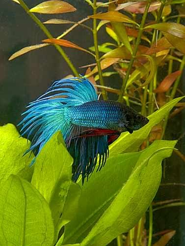43 best bettas images on pinterest fish tanks betta and for Betta fish life span