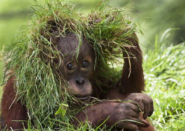 Camouflage! (photo by Olga Shiropaeva)Monkeys, Ape, Olga Shiropaeva, Shiropaeva Awww, God Creatures, Grass Fashion, Animais Variado, Animal, Baby Orangutans