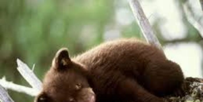 KEEP BAN ON HUNTING HIBERNATING BEARS (THIS PETITION IS A PLEA WRITTEN BY AN 11 YEAR OLD CHILD)... PLEASE S/S