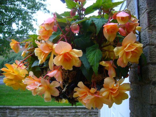 440 Best Beguiling Begonias Images On Pinterest