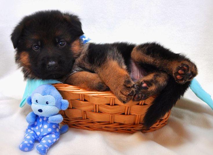 Julie Martinez Mittelwest World class German Shepherd Dog imports, breeder, puppies for sale, german shepherds for sale, stud services.