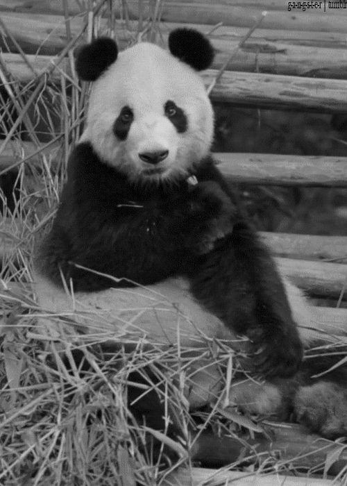 Panda gif.