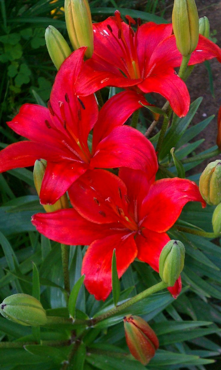 25 best red lily ideas on pinterest lilies lilies flowers and 25 best red lily ideas on pinterest lilies lilies flowers and red lily flower dhlflorist Choice Image