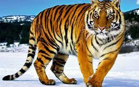 Fetter Tiger