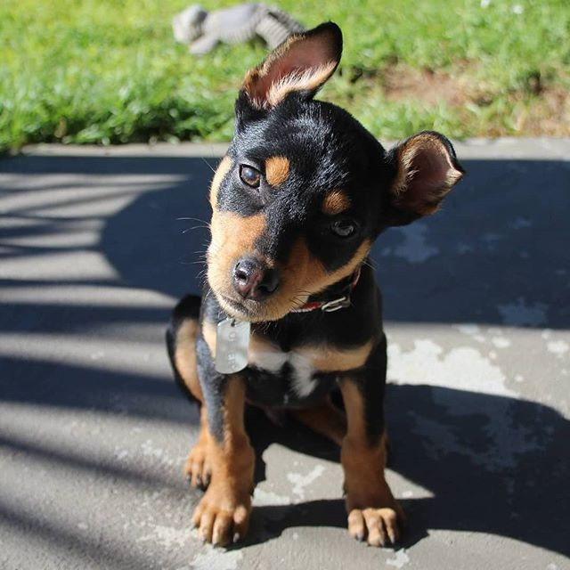 Pin By Natalie Chadwick On Australian Kelpie Puppies Puppy Eyes Animals