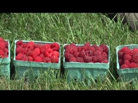 Bulletin #2066, Growing Raspberries and Blackberries | Cooperative Extension Publications | University of Maine