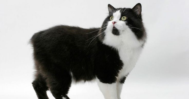 """The Cymric – pronounced """"koom-rick"""" - is a long-haired version of the Manx cat."""