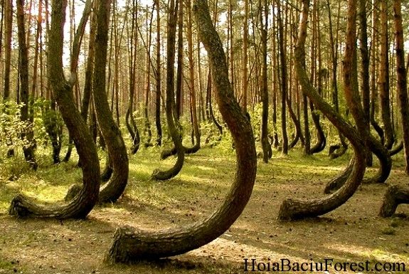 The Hoia-Baciu Forest (Haunted Romanian Forest) is famous for its strangely shaped trees, lights coming out of the woods, and strange biological effects induced on anyone to set foot in the forest. There is even a large clearing in the shape of a circle where it is said that nothing will grow.