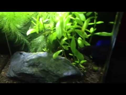 Cute little crown tail Siamese fighting fish set up