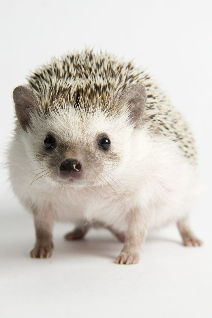 Here's Why Hedgehogs Are The Greatest Creatures On Earth-- Once upon a time, a pinecone, a cactus and a nugget had a baby...