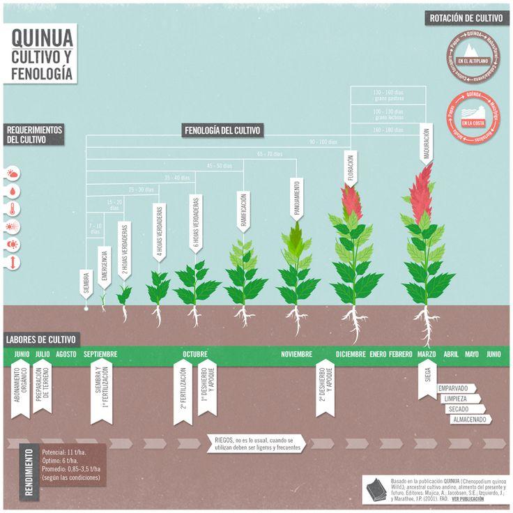 quinoa planta - Buscar con Google