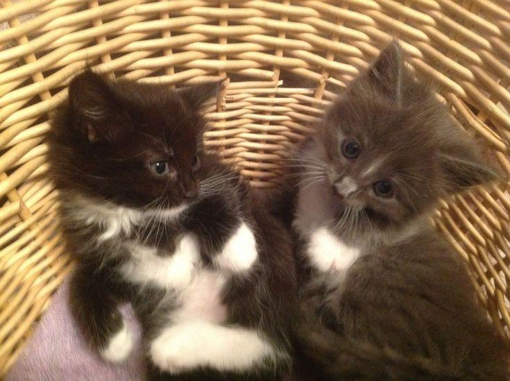 Chantilly Kitten