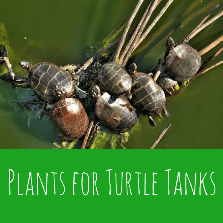 Plants for Turtle Tanks