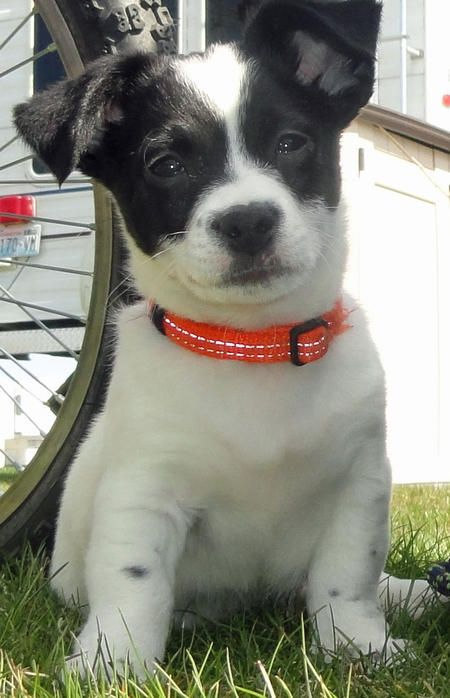 Australian Shepherd / Cardigan Welsh Corgi mix puppy
