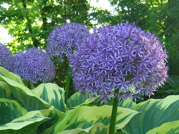 Companion Planting Bulbs With Perennials ... Allium U0027Globemasteru0027  (violet Purple
