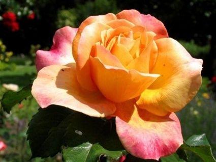 Roseliv med roser. - www.hildbjorg1.net