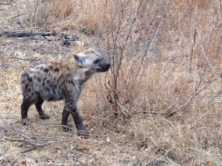 Four Spotted Hyaena cubs playing while Mom is resting.