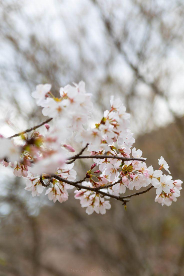 Chasing Cherry Blossoms In Japan Annie Fairfax Cherry Blossom Japan Japanese Travel Travel Photographer